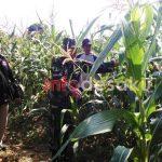 Bersama Petani, Babinsa Koramil 14/Todanan Rawat Tanaman Jagung