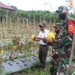 Wakil Bupati PPU bersama Dandim 0913/PPU Panen Melon di Kebun Babinsa Koptu Gampang